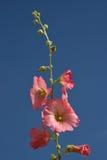 Flowering Hollyhocks against a blue sky Stock Photography