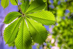 Green leaf of a chestnut in a city park royalty free stock photos