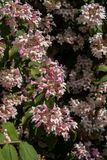 Flowering horse chestnut. On a sunny spring day royalty free stock photos