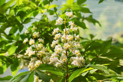 Flowering of horse chestnut, or gaudnik or esculus lat. Aesculus is a genus of plants of the family Spindulys Sapindaceae Stock Photo