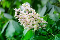 Flowering of horse chestnut trees in Kiev. Spring flowering of horse chestnut trees, selective focus stock image