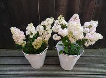 Flowering hortensia plants in zinc buckets Stock Photos