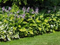 Flowering hosta, funkia, decorative garden plant