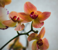 Flowering house plants, indoor plants. Branch with Orange, Peachy orchid flowers royalty free stock photos