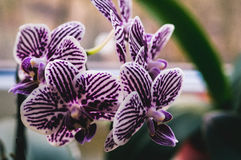 Flowering house plants, indoor plants. Five white orchid flowers with purple stripes royalty free stock photo