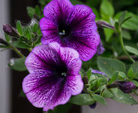 Flowering house plants, indoor plants, garden plants. Two flowers of lilac petunia on a green branch stock photo