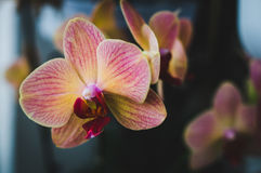 Flowering house plants, indoor plants. One pink yellow orchid flower stock images