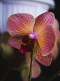Flowering house plants, indoor plants. One pink yellow orchid flower royalty free stock photography