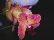 Flowering house plants, indoor plants. One pink yellow orchid flower stock photography