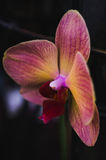 Flowering house plants, indoor plants. One pink yellow orchid flower royalty free stock images