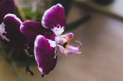 Flowering house plants, indoor plants. One purple orchid flowers with white center and edges on a branch stock photo