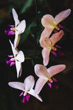 Flowering house plants, indoor plants. Orchid branch with six flowers stock image