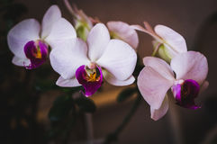 Flowering house plants, indoor plants. Orchid branch with three flowers royalty free stock images
