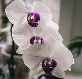 Flowering house plants, indoor plants. Three white orchid flowers with purple center stock photos