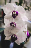 Flowering house plants, indoor plants. Three white orchid flowers with purple center stock photography