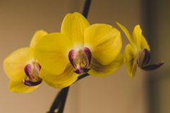 Flowering house plants, indoor plants. Three yellow orchid flowers on a branch stock image