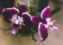 Flowering house plants, indoor plants. Two purple orchid flowers with white center and edges on a branch stock images