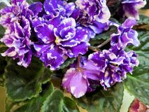 Blooming houseplants, flowers violets royalty free stock photos