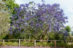 Flowering huge Jacaranda tree stock photos