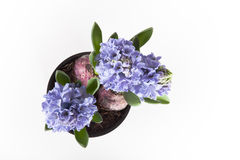Flowering hyacinths on a light background. Shallow depth of fiel Royalty Free Stock Photo