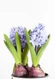 Flowering hyacinths on a light background. Shallow depth of fiel Royalty Free Stock Image