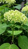 Flowering hydrangea. Stock Image