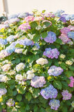 Flowering hydrangea shrub in sunshine Royalty Free Stock Photography