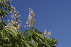 Flowering Indian horse chestnut tree Royalty Free Stock Images