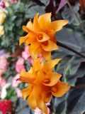 Flower of Aphelandra squarrosa. Flowering of an indoor plant Aphelandra squarrosa Stock Photo