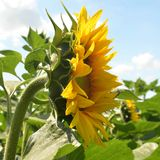 The flowering inflorescence of a sunflower is located in profile in the rays of a bright sun royalty free stock images