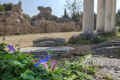 Flowering Ipomoea indica plant at antique colonnade of ancient Greek west gymnasium blurry background Stock Images