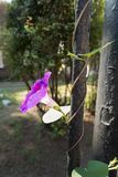 Flowering Ipomoea purpurea twining around rod royalty free stock photo