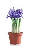 Flowering iris plant in pot stock photography