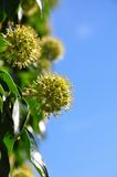 Flowering ivy (Hedera helix) Stock Images