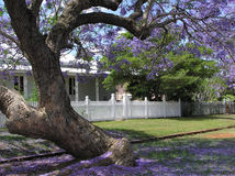 Flowering Jacaranda Stock Images