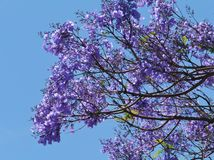 A flowering Jacaranda opposite a blue sky Stock Photography