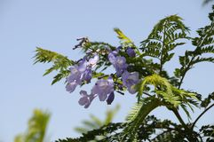 Flowering Jacaranda Tree Stock Image