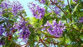 Flowering Jacaranda Tree (4K) stock video