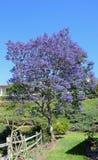 Flowering Jacaranda Tree in Laguna Woods, California. Image shows a flowering Jacaranda Tree in a residential area in Laguna Woods, California Royalty Free Stock Photos