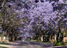 Flowering Jacaranda trees. Lining suburban street in Pretoria, South Africa stock photos