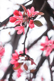 Flowering of Japanese cherry blossoms. On a white background Stock Photos