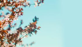 Flowering Japanese cherry on a blue sky background. cherry stock photo