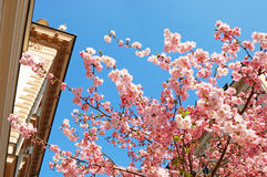 Flowering Japanese cherry in a city Royalty Free Stock Image