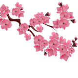 Flowering Japanese cherry. Sprig of pink sakura blossoms  white background. illustration Royalty Free Stock Images