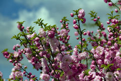 Flowering Japanese Cherry in spring. Royalty Free Stock Photography