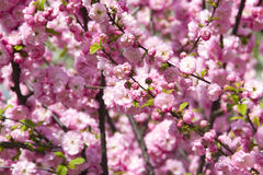 Flowering Japanese Cherry in spring. Royalty Free Stock Photos