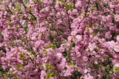 Flowering Japanese Cherry in spring. Stock Photography