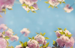 Flowering Japanese cherry tree and blue sky Stock Images