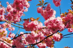 Flowering Japanese cherry tree branches royalty free stock photo