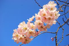 Flowering Japanese cherry tree Stock Images